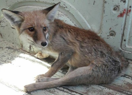 کشف یک قلاده روباه در ابزار فروشی در پردیس