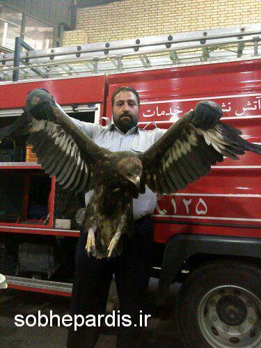 زندهگیری و تحویل یک بهله عقاب به محیط زیست شهرستان پردیس