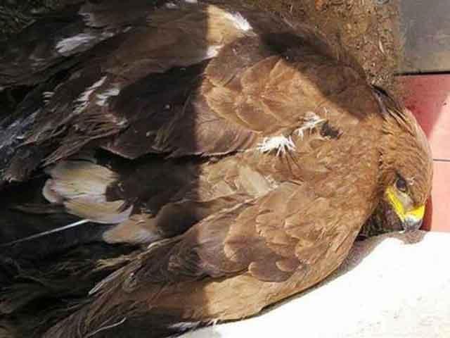 تحویل یک بهله عقاب آسیب دیده به محیط زیست در شهرستان پردیس