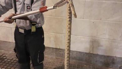 تصویر از زنده گیری ۱ حلقه مار افعی گرزه ای در منزل یک شهروند بومهنی