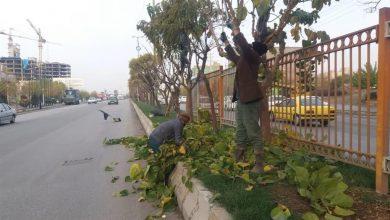 تصویر از آغاز عملیات هرس و بازپیرایی زمستانه درختان در شهر بومهن