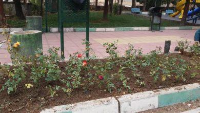 تصویر از کاشت ۱۵۰۰ گلدان رز هفت رنگ در پارک شقایق بومهن